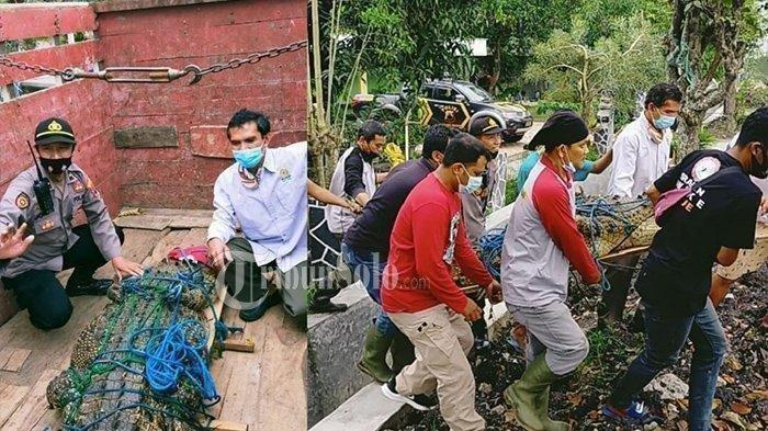 Buaya  Muara Dievakuasi dan Diserahkan ke BKSDA, Dipelihara Sejak Kecil Oleh Purnawirawan TNI