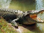 Buaya Ganas Terkam Warga yang Mandi di Sungai Pakai Kolor, Pawang Sebut Jangan Sombong