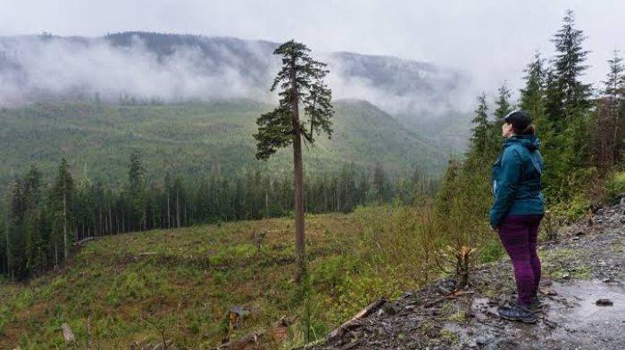 Big Lonely Doug: Pohon Raksasa Kesepian Simbol Hilangnya Hutan di British Columbia, Kanada