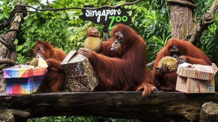 Singapore Zoo, Tempat Wisata di Singapura yang Cocok Dikunjungi saat Liburan Akhir Tahun