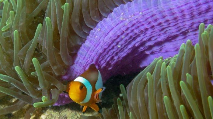 Pengunjung Wisata Kalsel Pulau Samber Gelap Kotabaru pun Disuguhi Ikan Laut Segar Tangkapan Nelayan - pesona-bawah-laut-wisata-kalsel-pulau-samber-gelap-di-kabupaten-kotabaru-04.jpg