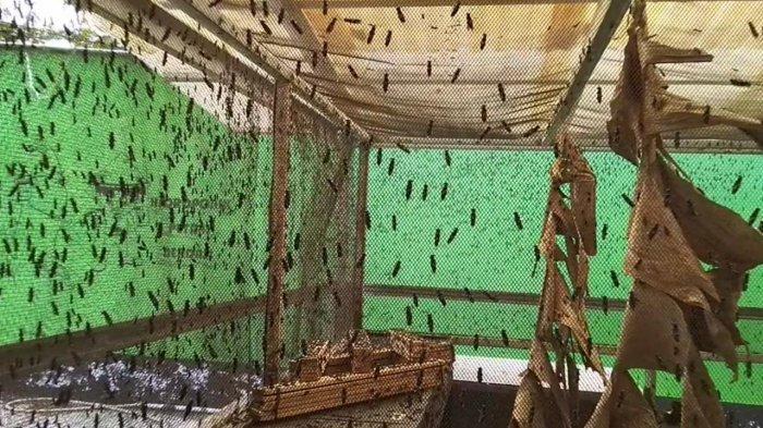 Wisata Kalsel, Training Center Larva Black Soldier Fly Tabalong Aktif Pelatihan Budidaya Ulat Maggot - wisata-kalsel-budidaya-ulat-maggot-di-tabalong-05.jpg