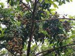 Buah-kelengkeng-di-Kebun-buah-Cipta-Rasa-Jalan-Manduhara-Palangkaraya-06.jpg