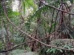 inilah-akar-akaran-yang-disebut-sebagai-bajakah-jbg-di-swarangan-tanahlaut.jpg