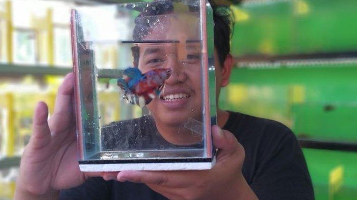 Awalnya Hanya Iseng Koleksi Ikan Cupang, Pria Ini Raih Omzet Rp 40 Juta di Tengah Pandemi Covid-19