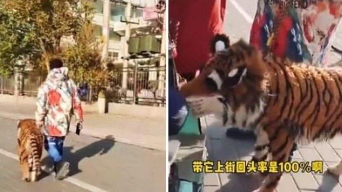POPULER Terlanjur Bikin Geger, Harimau yang Diajak Jalan-jalan di Tengah Kota Ternyata Anjing