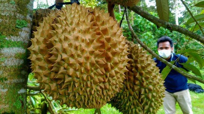 Sensasi Menikmati Durian Langsung dari Pohon di Kampung Durian Nglawungan Blora: Enak Gitu Lho