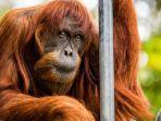 ilustrasi-orangutan.jpg