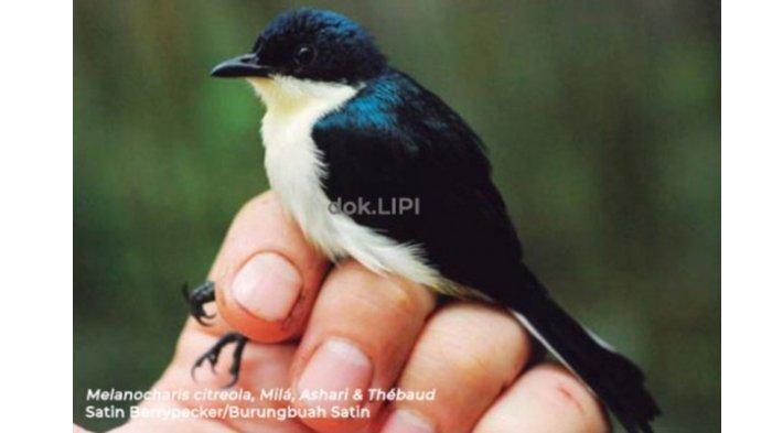 Morfologi Burungbuah Satin yang Ditemukan di Papua Barat, Ini yang Jadi Ciri Khasnya