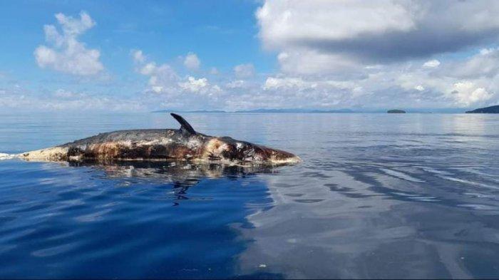 Hiu Paus Sepanjang 10 Meter Ditemukan Mati Mengapung di Perairan Raja Ampat