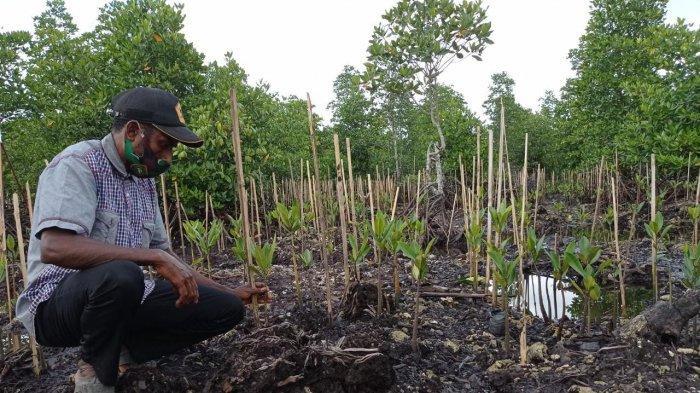 Kawasan Maibo Sorong Jadi Rumah bagi Mangrove Jenis Rizhopora Sp yang Hampir Punah