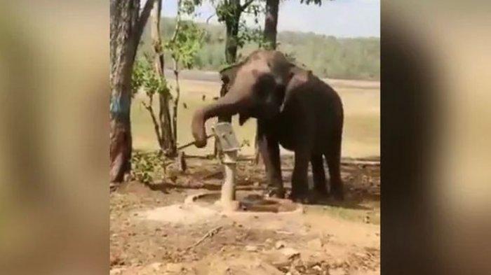 Viral Video Gajah Pakai Belalainya untuk Memompa Air Sumur untuk Minum