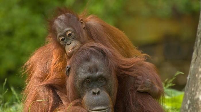Cerita Rakyat NTT : Belo Bani Orang Hutan dari Kabupaten TTU, Provinsi NTT, Indonesia