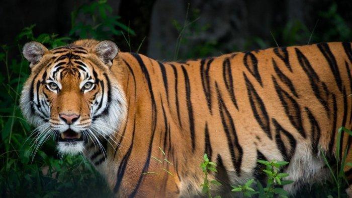 Diserang saat Minum Teh, Pendulang Emas di Jambi Tewas Diterkam Harimau