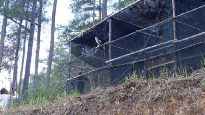 Burung Elang Brontok Dilepasliarkan di Kawasan Wisata Bur Telege Aceh Tengah