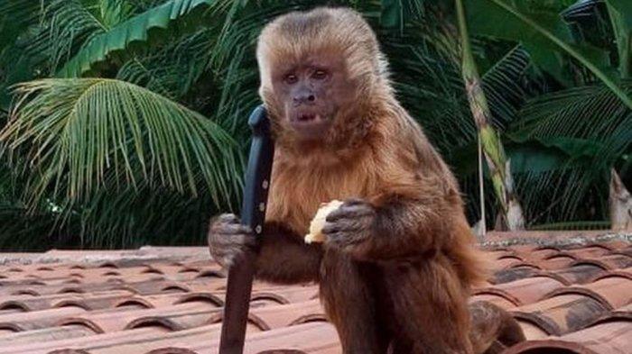 Kecanduan Minum Miras, Monyet Kanibal Dipenjara Seumur Hidup