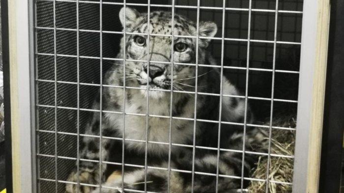 Maskapai Garuda Indonesia Bawa Satwa Langka Dunia 'Snow Leopard'