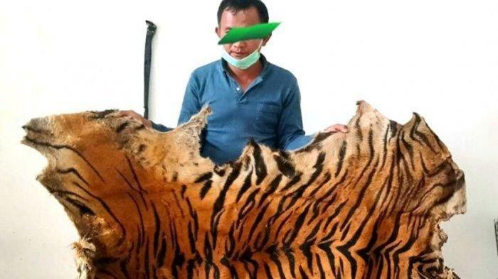 Penjual Tiga Lembar Kulit Harimau di Agara Terancam Lima Tahun Penjara