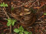 ilmuwan-menggunakan-ular-tikus-untuk-memantau-radiasi-radioaktif-nuklir-di-fukushima-jepang.jpg