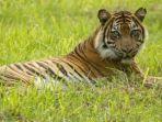 ilustrasi-harimau-seorang-remaja-di-siak-tewas-dimangsa-harimau.jpg