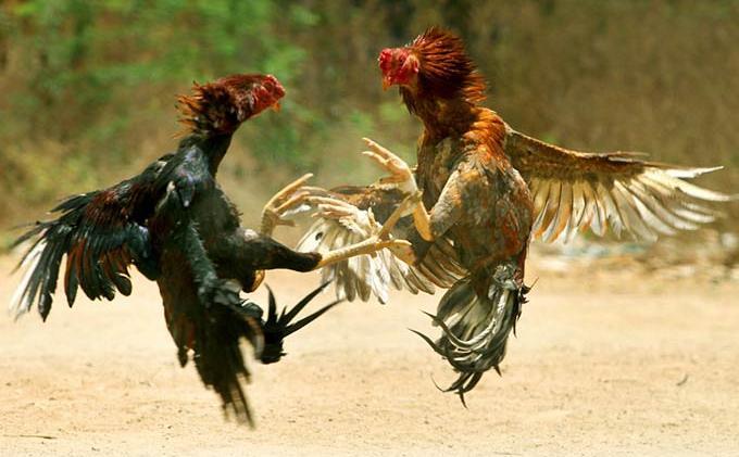 Sabung Ayam Kembali Marak