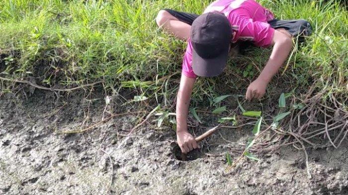 Liburan Anak-anak Desa Sugiwaras, Wonomulyo: Mancing Belut di Sawah