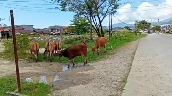 Perda Penindakan Ternak Pemkab Mamuju, Kabiro Hukum Sulbar: Sementara Proses