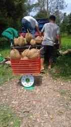 Panen durian Otong di KRB Polman
