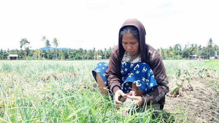 Petani Kalukku Mamuju Panen Perdana Bawang Merah