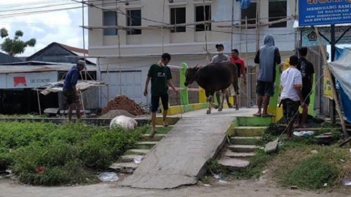 Sapi Kurban Lepas dan Kabur di Wonomulyo, Nyaris Seruduk Pengguna Jalan