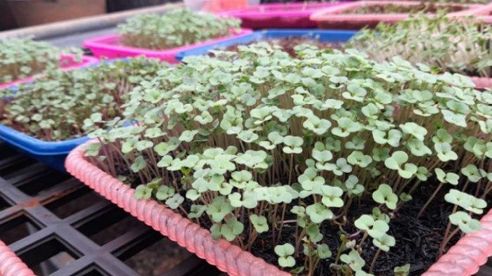 Dosen Unhas Kembangkan Microgreens, Sayuran Mungil Kaya Nutrisi Zaman Now
