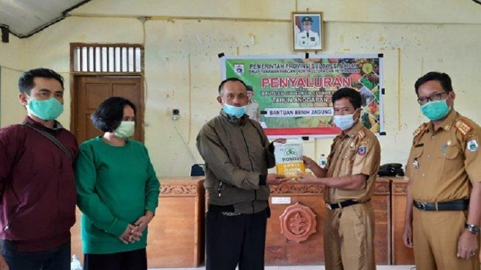 Dinas Pertanian Sulbar Bantu Bibit Jagung 1.800 Hektar Lahan di Mamasa