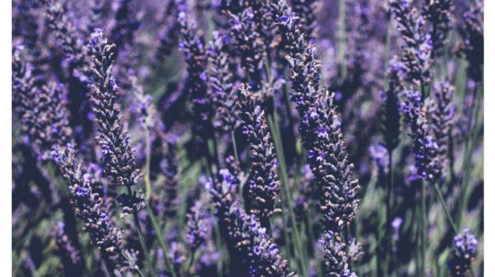 Tanaman Lavender, salah satu tanaman yang dianggap mampu mengusir nyamuk secara alami