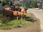 Hewan-ternak-sapi-yang-berkeliaran-di-jl-Abdul-Malik-Pattana-Endeng.jpg