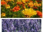 Tanaman-Marigold-dan-Lavender.jpg