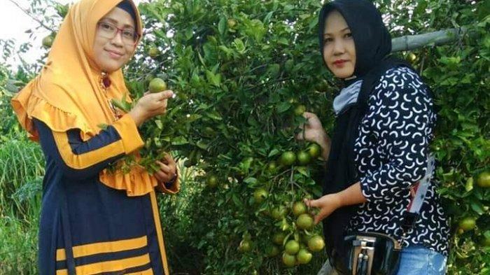 Petik Jeruk Sepuasnya Di Agrowisata Desa Samiran Pamekasan Hanya Bayar Rp 10 ribu