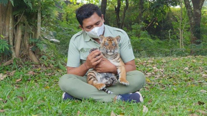 Dua Bayi Harimau Aura dan Isyana Lengkapi Koleksi Harimau Sumatera di Taman Safari Prigen