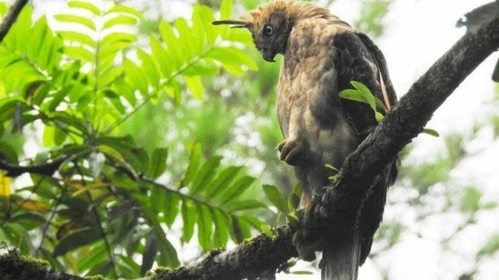 Elang Jawa Dan Elang Ular Bido Dilepasliarkan Di Kawasan Taman Nasional Bromo Tengger Semeru