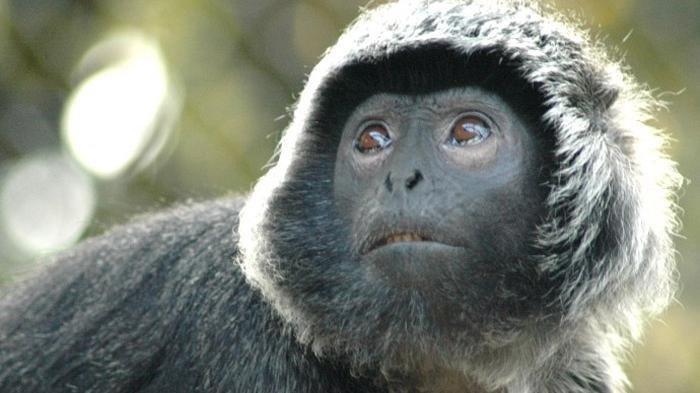 BBKSDA Terus Lakukan Upaya Konservasi Demi Lindungi Lutung Jawa di Gunung Ijen