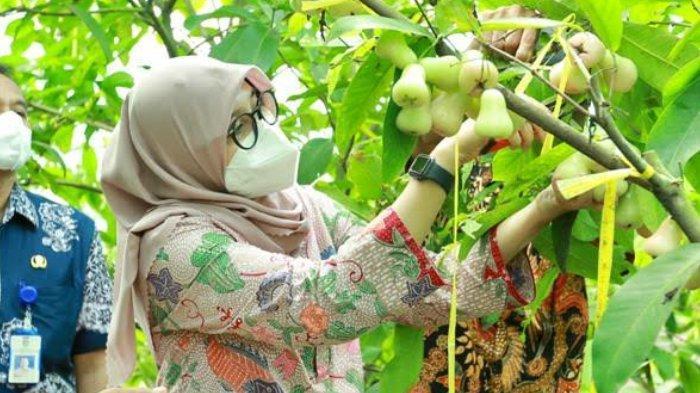 Menengok Kampung dengan Berbagai Varietas Jambu di Banyuwangi