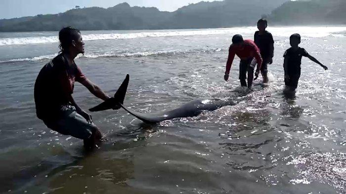 Kawanan Lumba-lumba Terdampar di Pantai Wisata Sidem Tulungagung