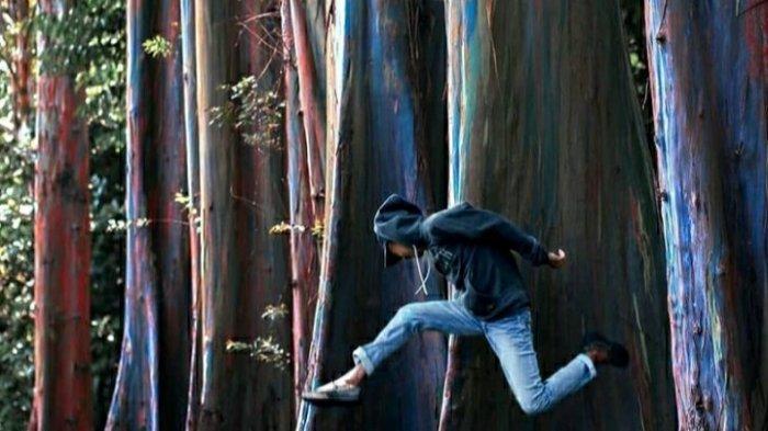 Kagum Melihat Pohon Pelangi Di Hutan Bondowoso Sudah Ada Sejak 1937