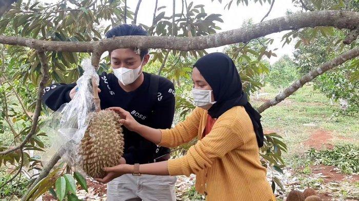 Kebun Durian di Gresik Jadi Destinasi WIsata Baru
