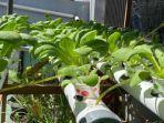 sayuran-hidroponik.jpg