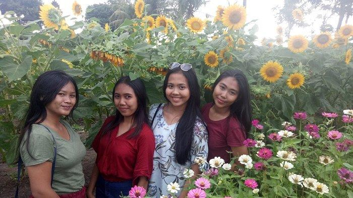 Bertani Bunga Matahari Malah Jadi Destinasi
