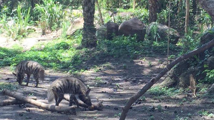 Wow, Ada Hyena di Bali Safari and Marine Park