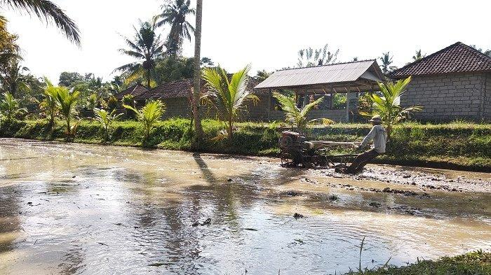 Desa Wisata Pinge Tawarkan Atraksi Matekap
