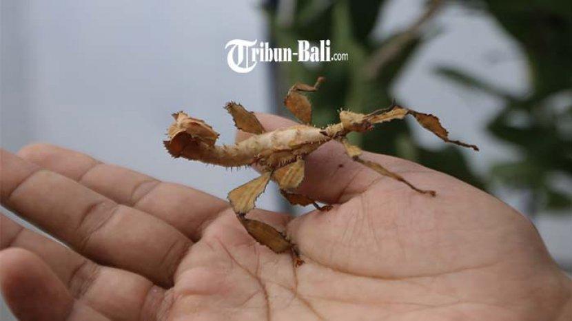 Hari  Budidayakan Ratusan Jenis Serangga, Jajal Hutan dan Pegunungan di Bali untuk Mencari Serangga