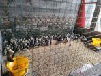Ravaya-Farm-Jual-Ayam-Caru-Termurah-di-Bali.jpg