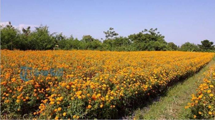 Ini Penjelasan Terkait Mitos Bunga Gumitir yang Tidak Boleh Dipakai Sembahyang